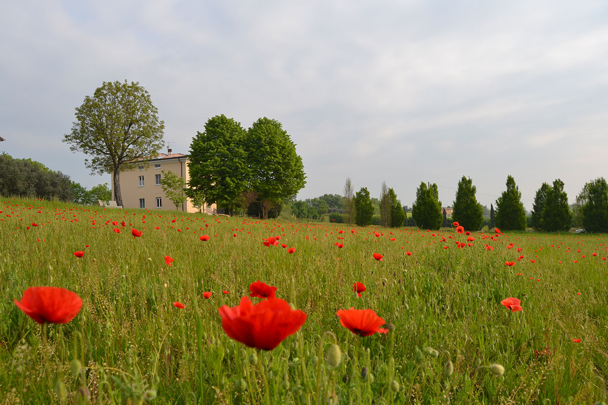 Papaveri in primavera
